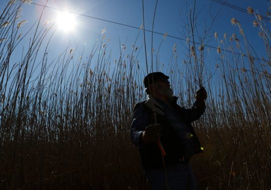 Kevin Best of Hockessin stands among phragmites as he helps artist Sarah Kavage to harvest the invasive plant for an upcoming art project in the Russell W. Peterson Wildlife Refuge near Wilmington. (Photo: WILLIAM BRETZGER, DELAWARE NEWS JOURNAL)
